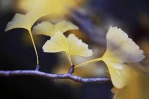 AutumnGingko_cRitaCranePhoto