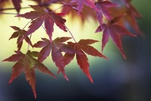 maple red pink nature leaf fall autumn botanical tree leaves yellow green blue