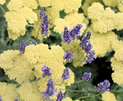 lavender-yarrow_mg_0077_crop_sm.600x0