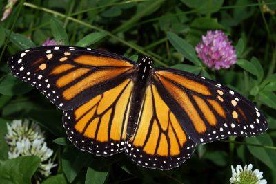 primary--Flight-of-the-Butterflies--at-International-Wildlife-Film-Fest-1487992256
