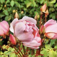 Heritage Rose Celebration