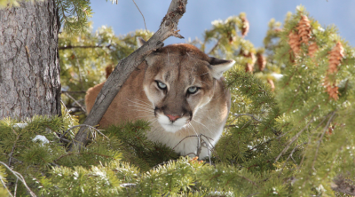 """Living With Mountain Lions"" with Matt Nelson"