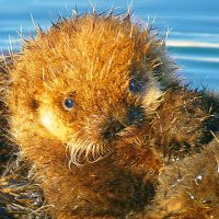 Pacific Coast Sea Otters – Pat Toth-Smith – August 2021